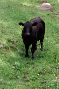 NFF black steer